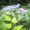 Photos: 味真野の山紫陽花