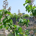 写真: 桐の花と大阪城 (3)