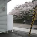 福井県坂井市の丸岡体育館前の白ポスト越しに城址の桜を見る。(2015年)