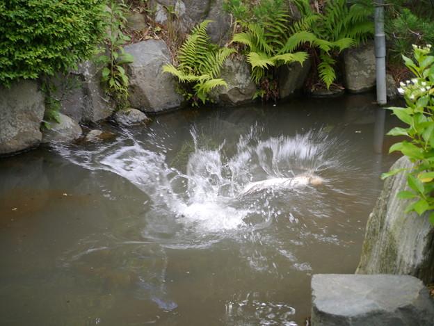 鯉、跳ねるぅ