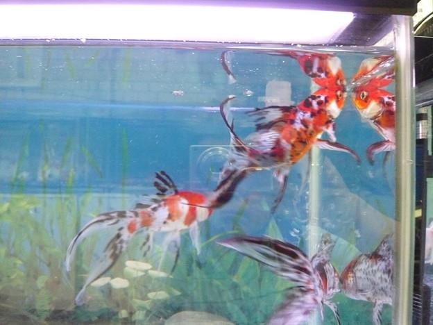 P1230573弥富の金魚