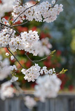150412桜10