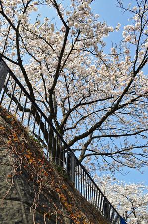 150412桜13