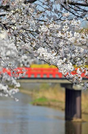 150412桜14