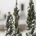 写真: 雪の中のコニファー  NEX-5 SEL30M35