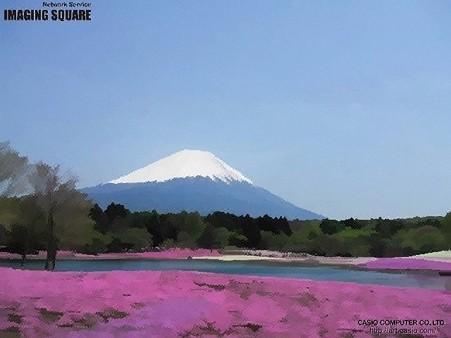 富士芝桜(絵写真)