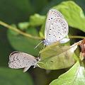 写真: ヤマトシジミ南西諸島亜種-3