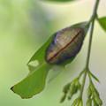 ウラゴマダラシジミの蛹(柏原町)