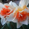 球根 水仙 八重咲き