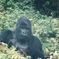 進化を妨げた兜 Mountain gorilla in Rwanda