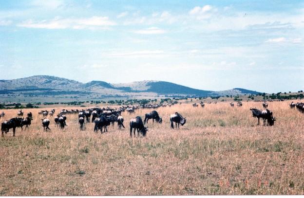 草食むヌーの大群 マサイマラ Gnus in Masai Mara,Kenya    *むきむきに草食むヌーの群れているサバンナの果てに山は起き伏す