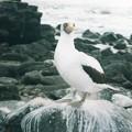 ガラパゴス ナスカカツオドリ Nazca booby on Española Island, Galapagos Islands