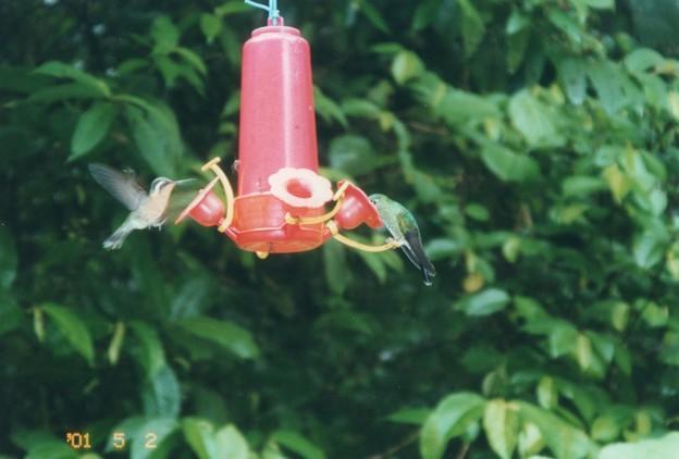 ハチドリのホバリング コスタリカ Hovering in mid-air,Costa Rica