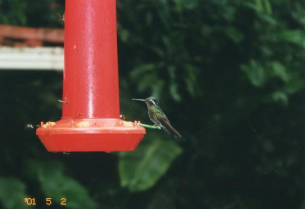 蜜吸うハチドリ コスタリカ  Hummingbird ,Costa Rica
