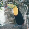 巨大な嘴 トゥカン Tucano
