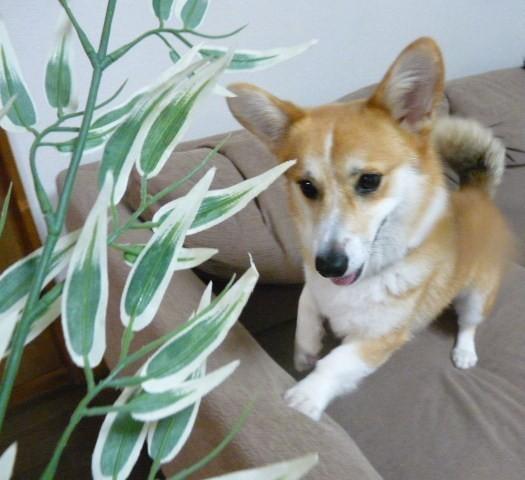 笹の葉サラサラ3