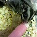 写真: フクロモモンガ。 赤ちゃん...
