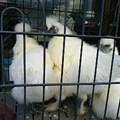 写真: 烏骨鶏。若親、オス一羽、メ...