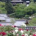 Photos: 長谷寺本堂と牡丹