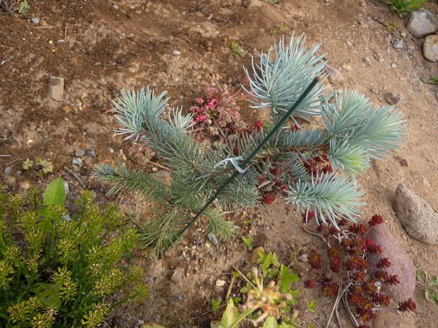 写真: Picea abies Edith