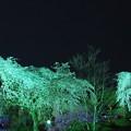 夜桜 II