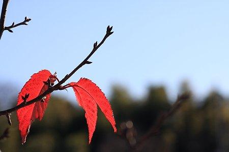 2011.12.25 和泉川 サクラ