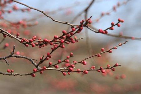 2012.02.13 大池公園 紅梅