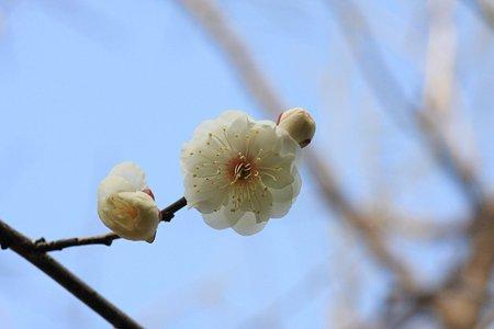 2012.02.22 和泉川 梅