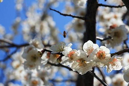 2012.03.26 和泉川 ウメとヒラタアブ