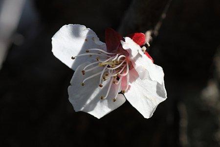 2012.04.05 和泉川 ウメ 光に向かって