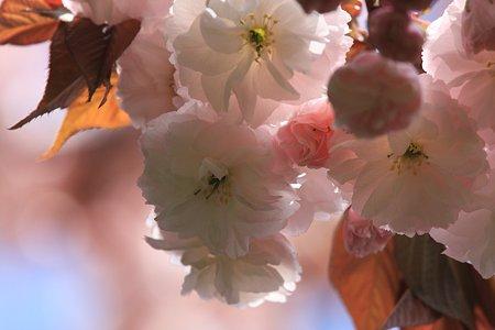 2012.04.24 和泉川 ヤエザクラ