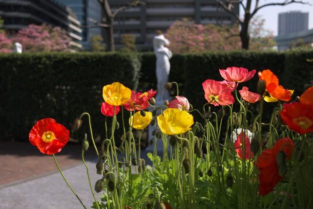 Photos: 2012.04.28 汐留 イタリア公園 ヒナゲシ