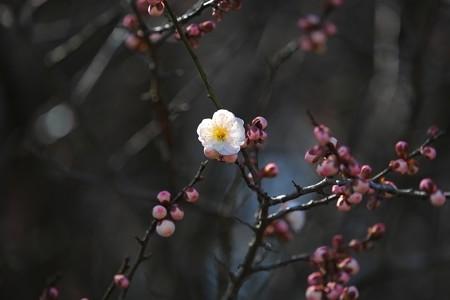 2015.03.05 瀬谷市民の森 梅 ピンク
