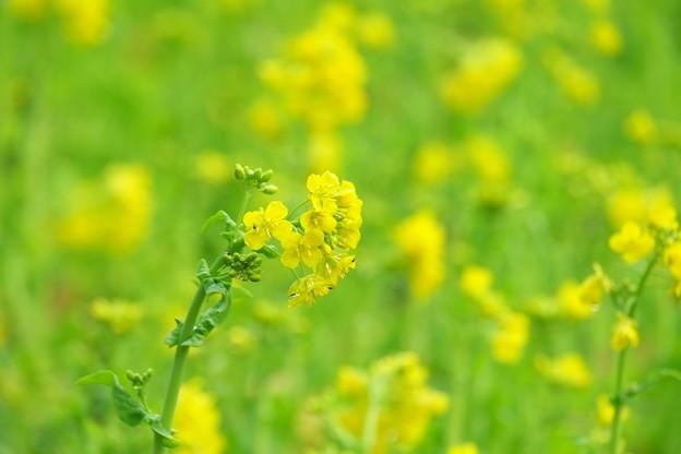 2015.03.10 追分市民の森 菜の花