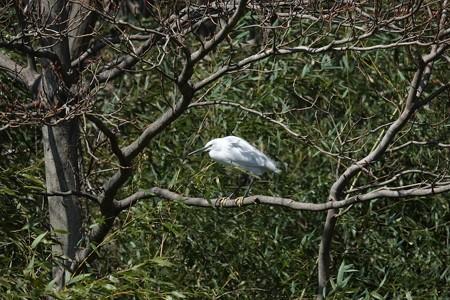 2015.03.11 和泉川 風に向って コサギ