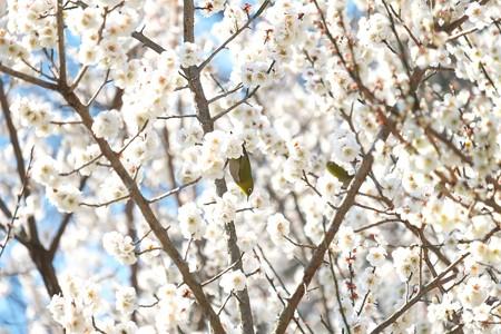 2015.03.12 追分市民の森 梅畑でメジロ
