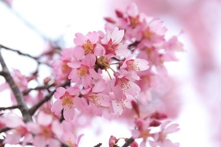 2015.03.15 和泉川 オカメザクラ