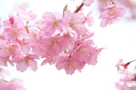2015.03.16 和泉川 カワズザクラ