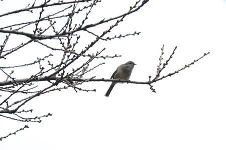 2015.03.19 和泉川 ウグイス