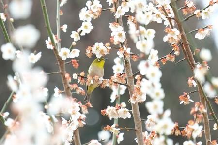 2015.03.20 瀬谷市民の森 梅にメジロ