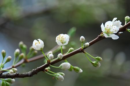 2015.03.21 和泉川 スモモ