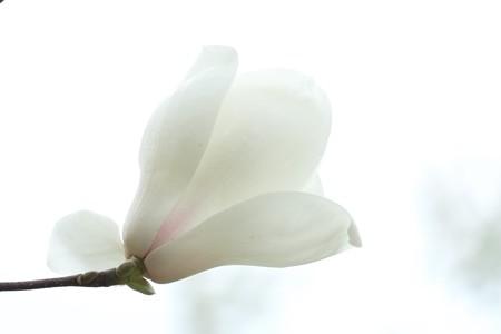 2015.03.21 和泉川 ハクモクレン