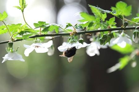 2015.03.23 追分市民の森 カジイチゴにクロマルハナバチ