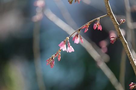 2015.03.24 和泉川 シダレザクラ