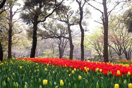 2015.04.06 横浜公園 チューリップ2015