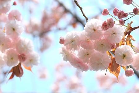 2015.04.17 和泉川 ヤエザクラ