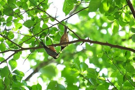 2015.05.06 追分市民の森 ヤマガラ 給餌