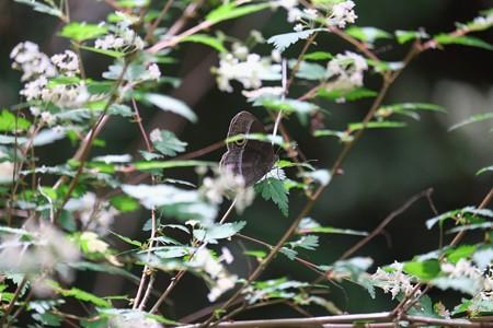 2015.05.12 追分市民の森 コゴメウツギにコジャノメ