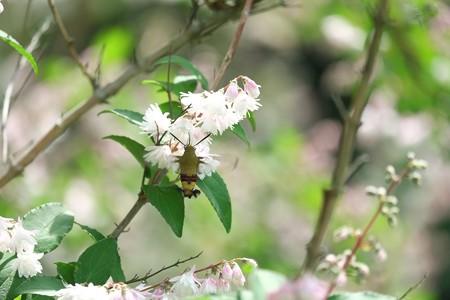 2015.05.23 和泉川 サラサウツギにオオスカシバ