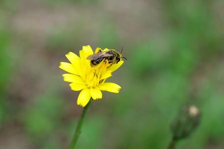2015.05.24 追分市民の森 ブタナに ヒメハラナガツチバチ